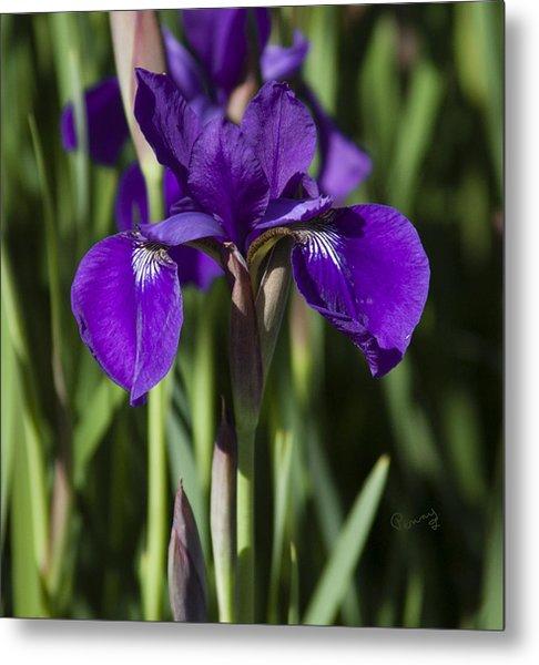 Eloquent Iris Metal Print