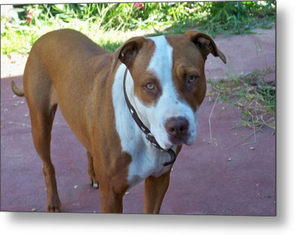 Emma The Pitbull Dog Metal Print