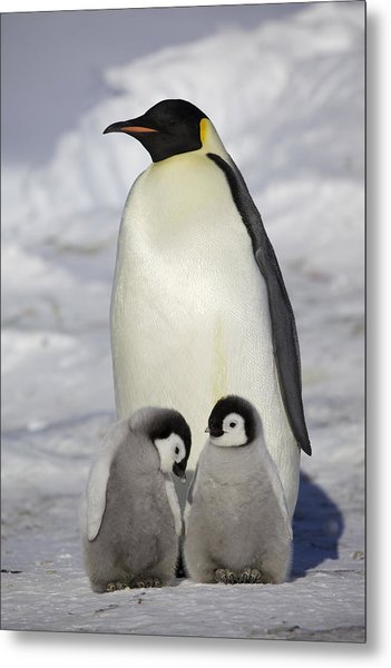 Emperor Penguin And Two Chicks Metal Print