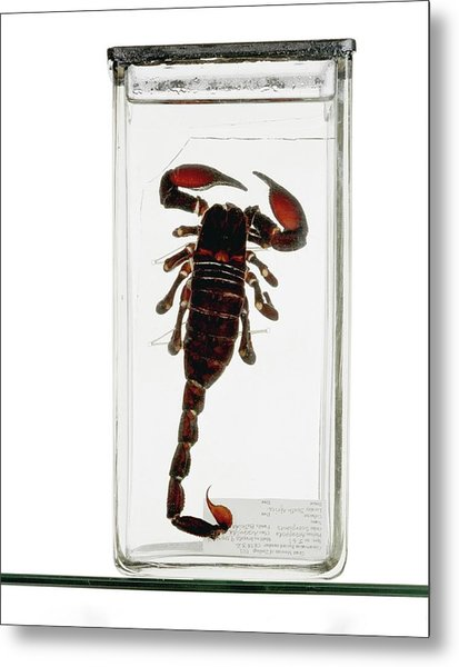 Emperor Scorpion Specimen Metal Print by Ucl, Grant Museum Of Zoology