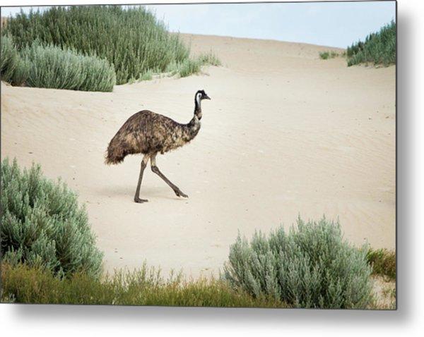 Emu In Sand Dunes. Coffin Bay. South Metal Print