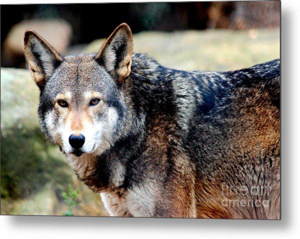 Endangered Red Wolf Metal Print