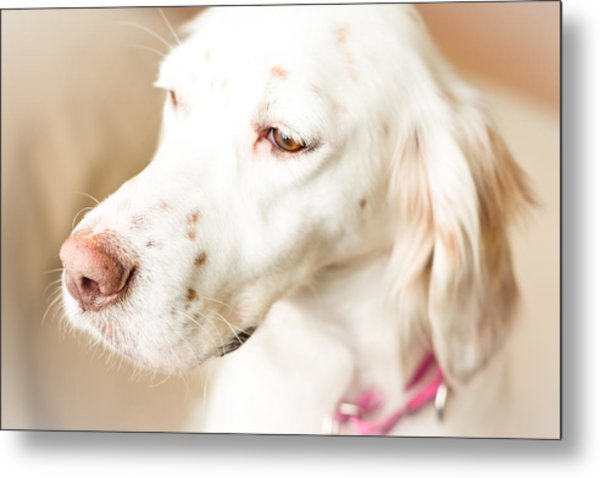 English Setter In Natural Light Metal Print