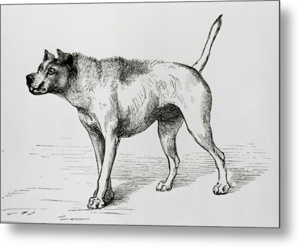 Engraving Of An Aggressive Dog Metal Print by Science Photo Library