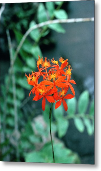 Epidendrum Ibaguense. Metal Print by Science Photo Library