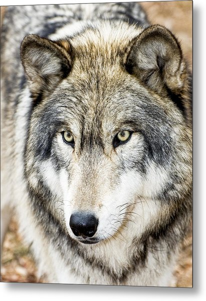 Essence Of Wolf Metal Print