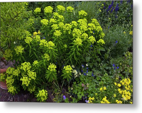 Euphorbia Flowers Metal Print by Bob Gibbons/science Photo Library