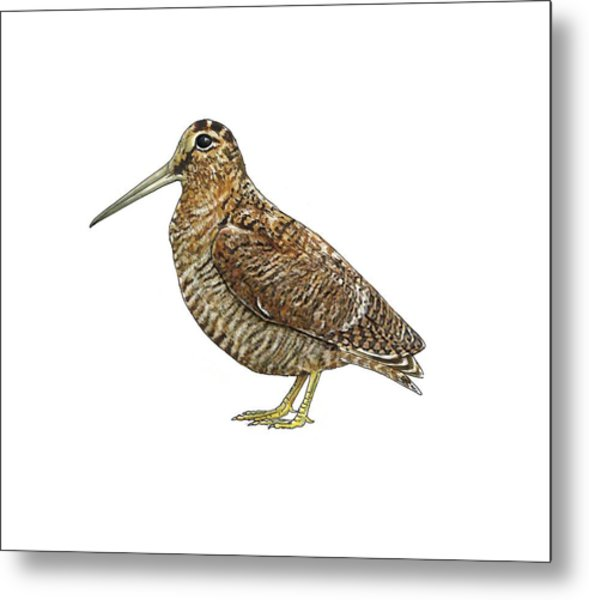 Eurasian Woodcock, Artwork Metal Print by Science Photo Library