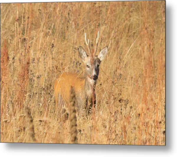 European Roe Deer Metal Print
