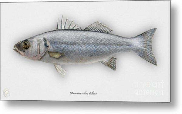 European Seabass Dicentrarchus Labrax - Bar Commun - Loup De Mer - Lubina - Havabor - Seafood Art Metal Print