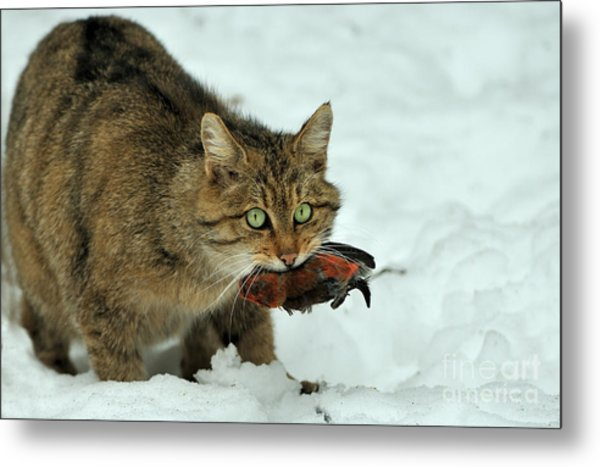 European Wildcat Metal Print