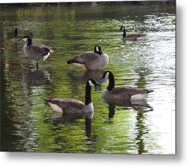Evening Geese Gathering Metal Print