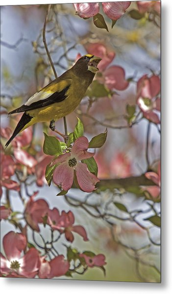 Evening Grosbeak Metal Print