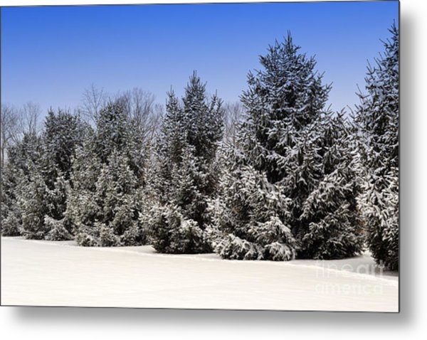 Evergreen Trees In Winter Metal Print