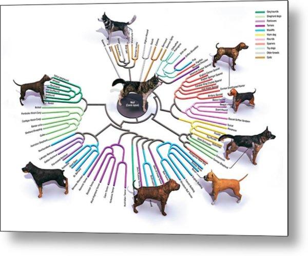 Evolution Of Dog Breeds Metal Print