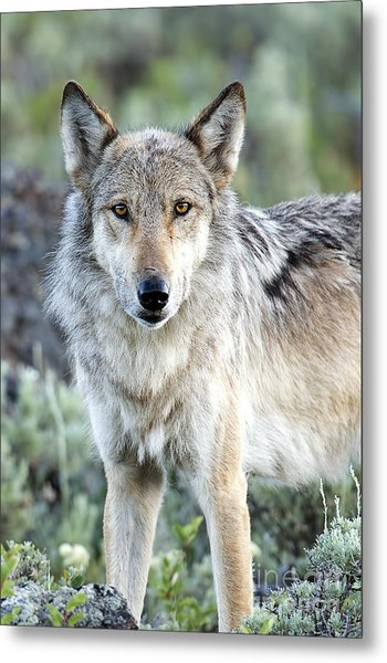Eye Contact With A Gray Wolf Metal Print