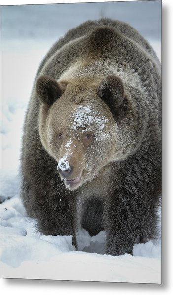 Eye Of Grizzly Metal Print