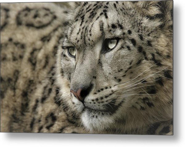 Eyes Of A Snow Leopard Metal Print