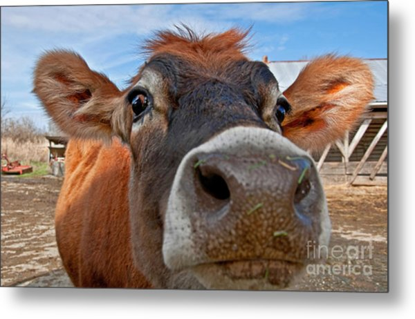 Face Of Young Jersey Cow Heifer Metal Print