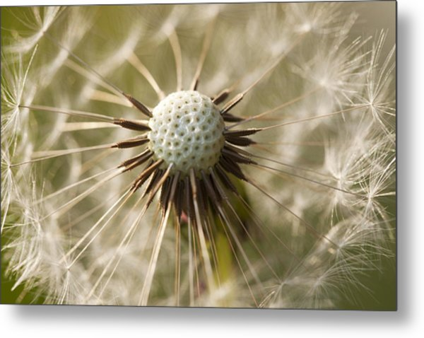 Dandelion Abstract Metal Print