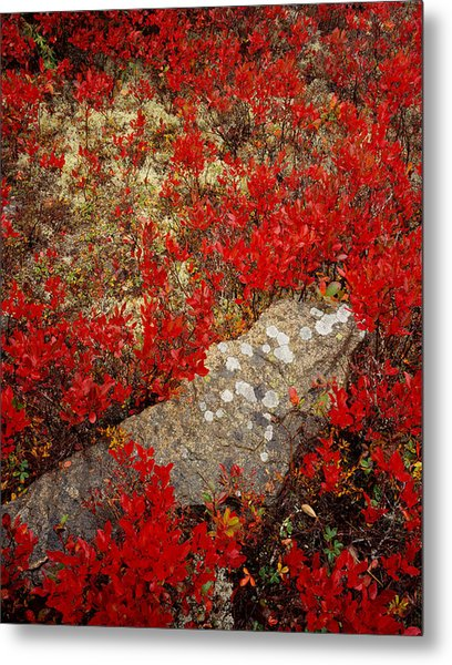 Fall Blueberries And Moss Metal Print
