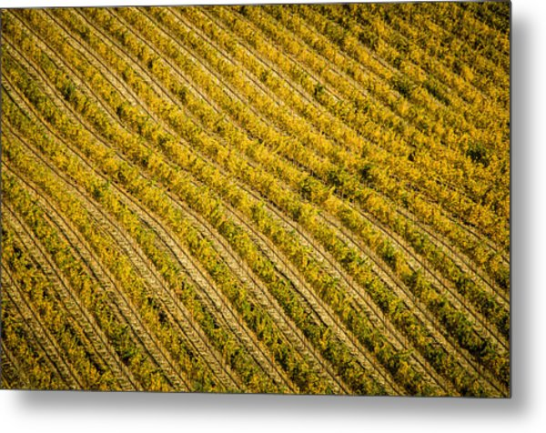 Fall Color Grape Vines Metal Print by Connie Cooper-Edwards