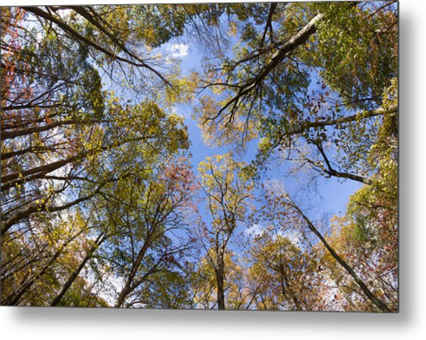Fall Foliage - Look Up 2 Metal Print