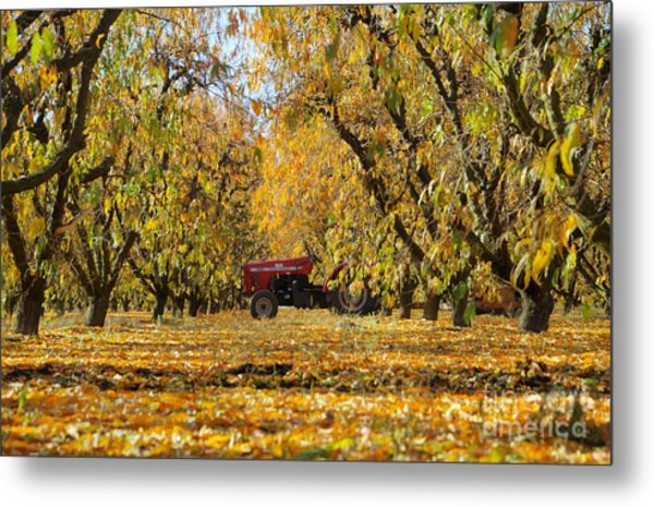 Fall In The Peach Orchard Metal Print