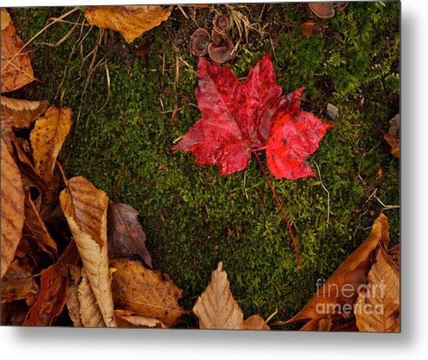 Fall Maple Leaves Metal Print