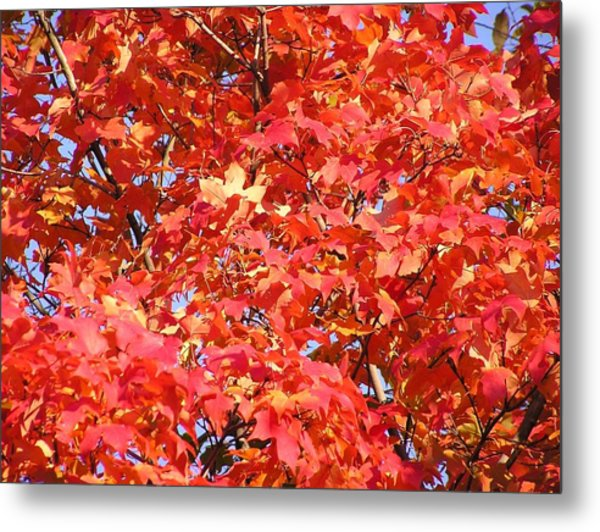 Fall Sugar Maple Metal Print