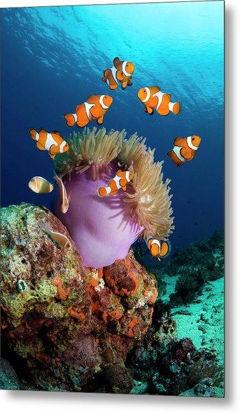 False Clownfish Metal Print