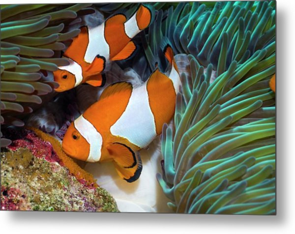 False Clownfish Spawning Metal Print