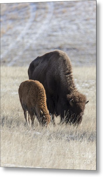 Bison Calf Having A Meal With Its Mother Metal Print
