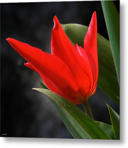 Fancy Tulip Metal Print