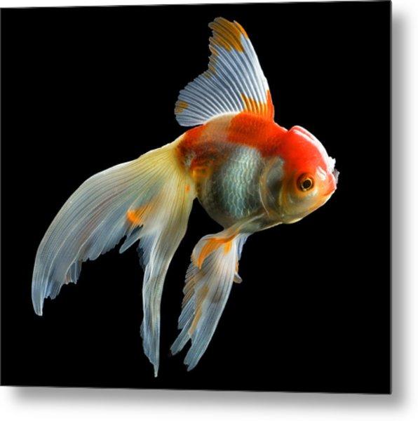 Fantail Goldfish Metal Print