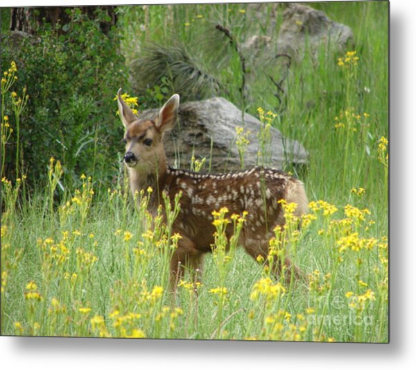 Fawn In Evergreen Colorado Metal Print
