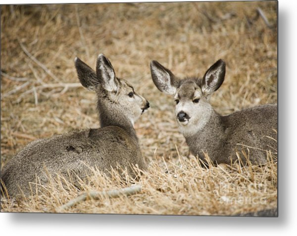 Fawns At Rest Metal Print by Bob Dowling