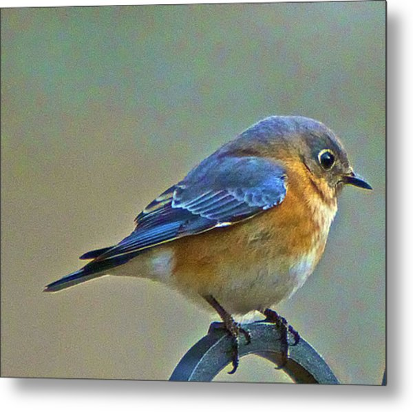 Febuary Bluebird  Metal Print by Constantine Gregory