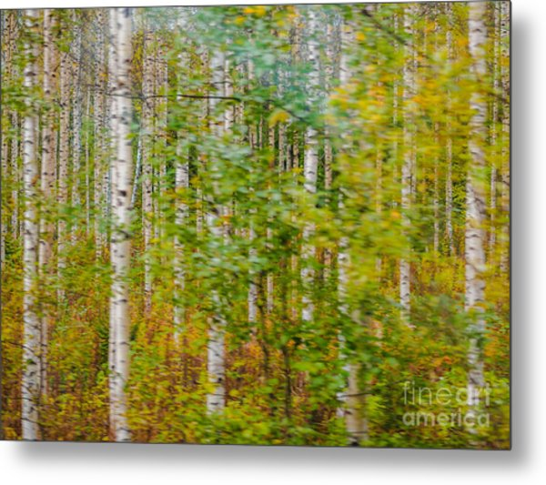 Feels Like Autumn In A Forest Of Birch Trees Metal Print