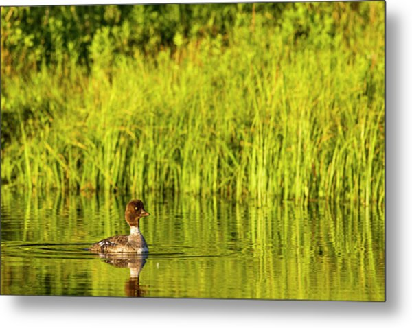 Female Barrows Goldeneye In Grand Teton Metal Print