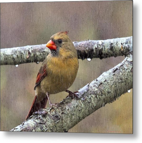Female Cardinal Reigns In The Rain  Metal Print by Constantine Gregory