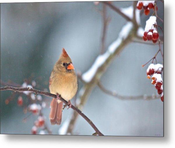 Female Cardinal On Cherry Tree In Snow Metal Print