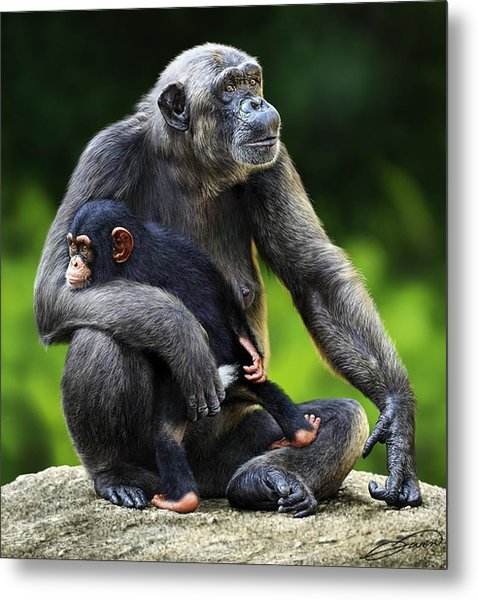 Female Chimpanzee With Young Metal Print by Owen Bell
