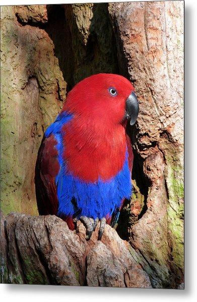 Female Eclectus Parrot Resting Metal Print