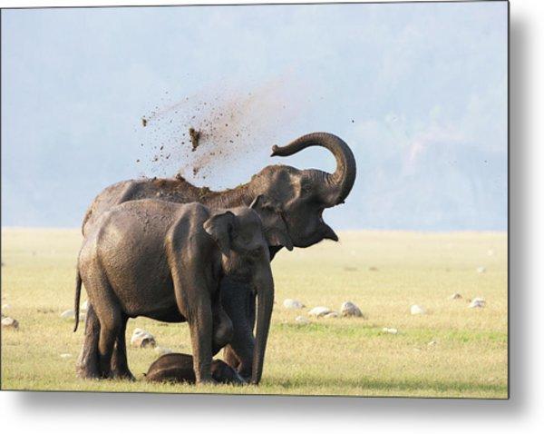 Female Elephants With Calf Metal Print by Sabirmallick