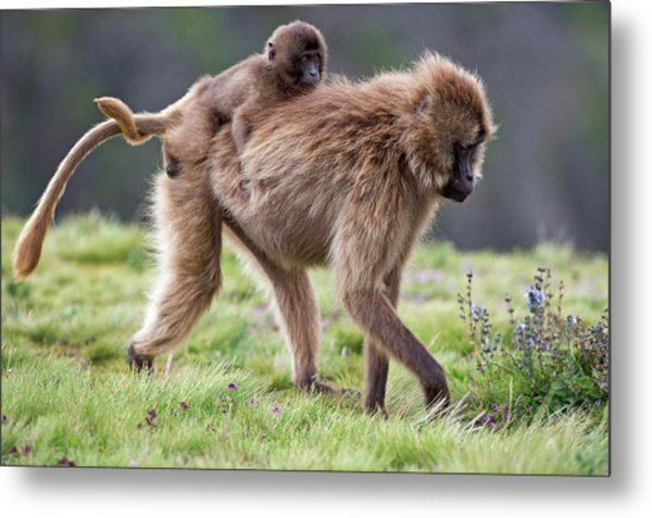 Female Gelada Baboon Carrying Her Infant Metal Print