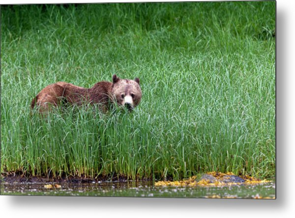 Female Grizzly, Knight Inlet Metal Print by Doug Mckinlay
