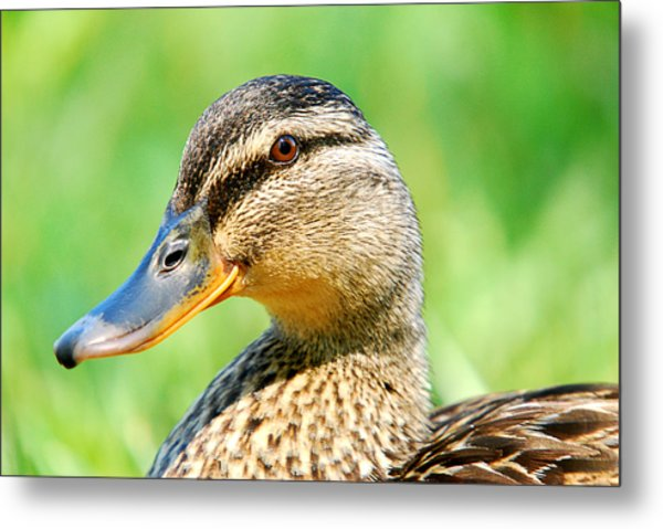 Female Mallard Duck Metal Print