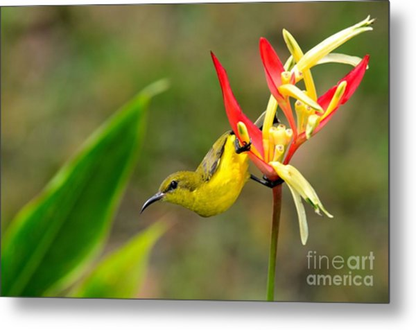 Female Olive Backed Sunbird Clings To Heliconia Plant Flower Singapore Metal Print