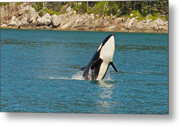 Female Orca Cheval Island Alaska Metal Print